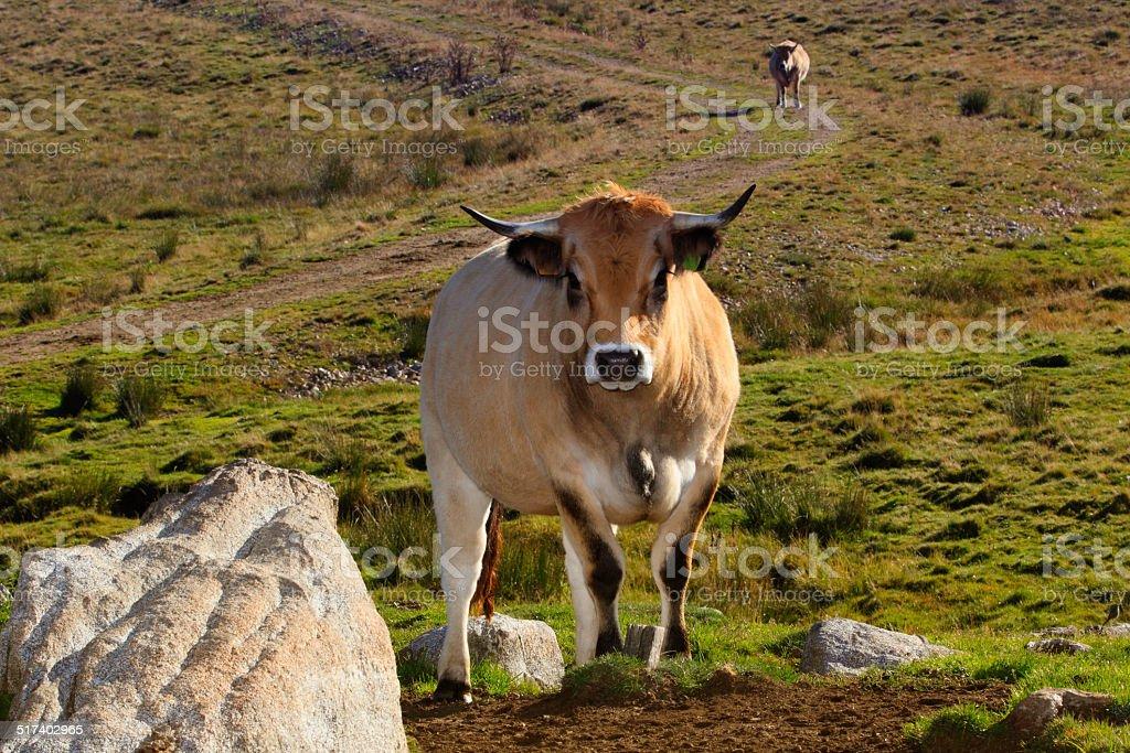 Vache d'Aubrac stock photo