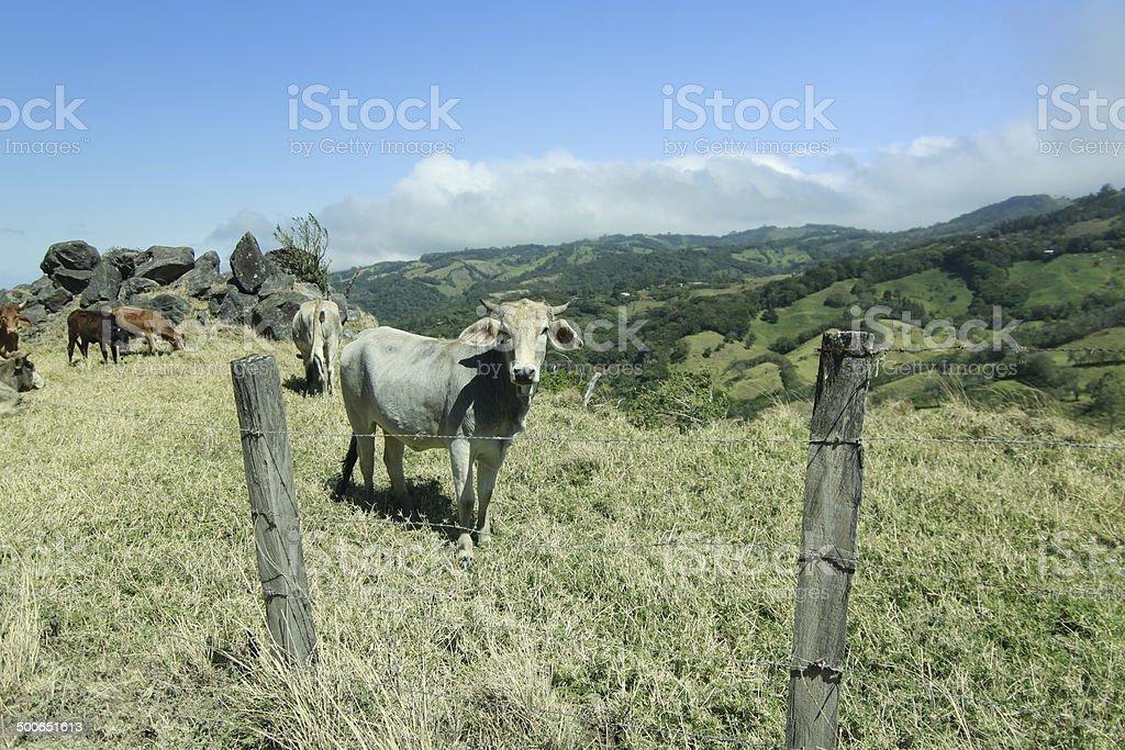 vache stock photo