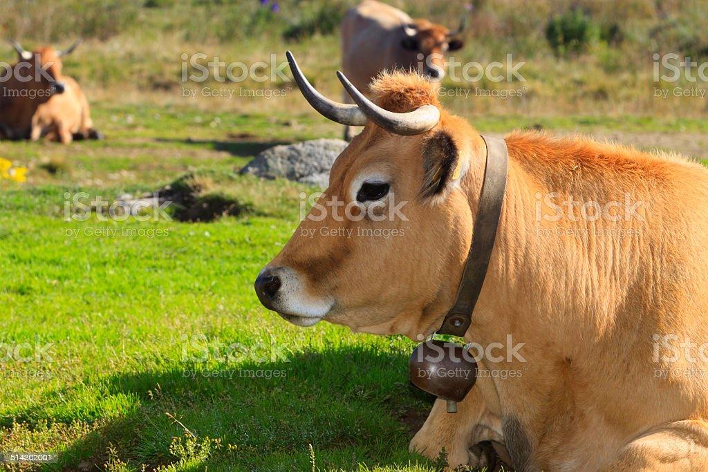 Vaches d'Aubrac stock photo
