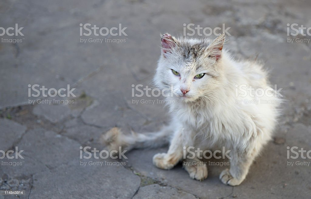 Vagrant cat royalty-free stock photo