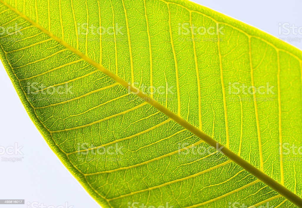 Vains of leaf royalty-free stock photo