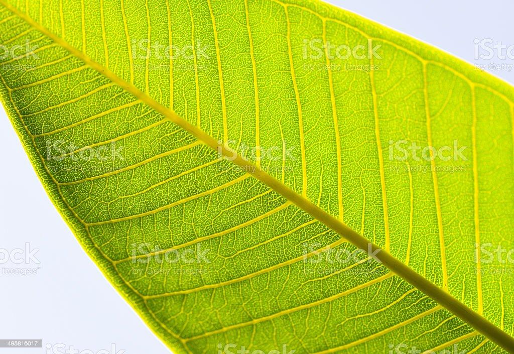 Vains of leaf stock photo