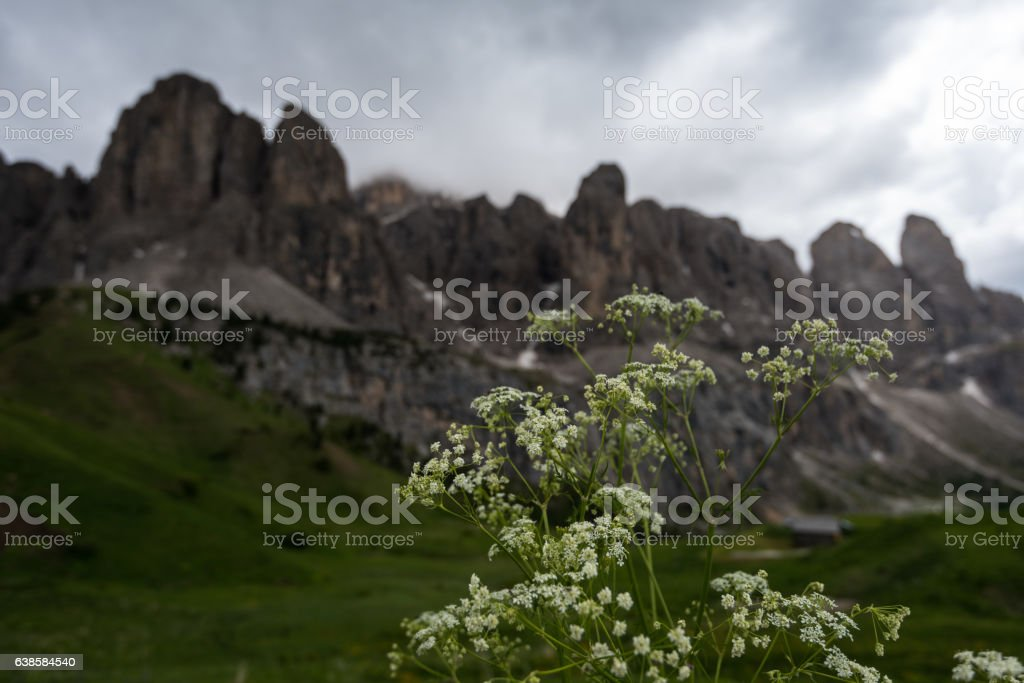 Val di Fassa dolomites flowers stock photo