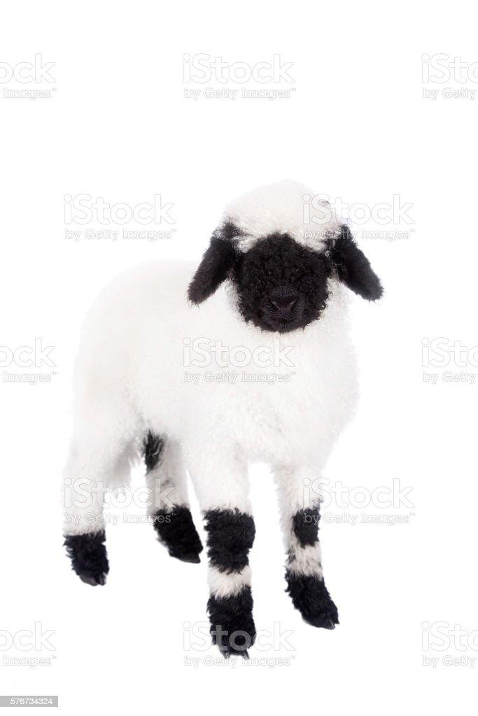 Valais lamb On White stock photo
