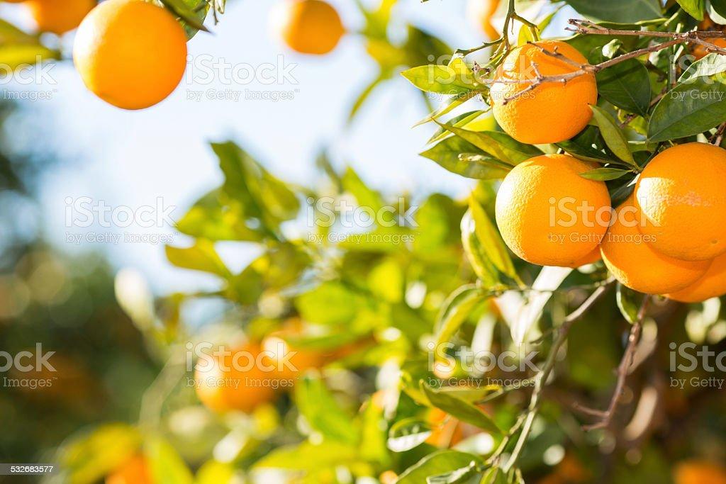Valencia orange trees stock photo