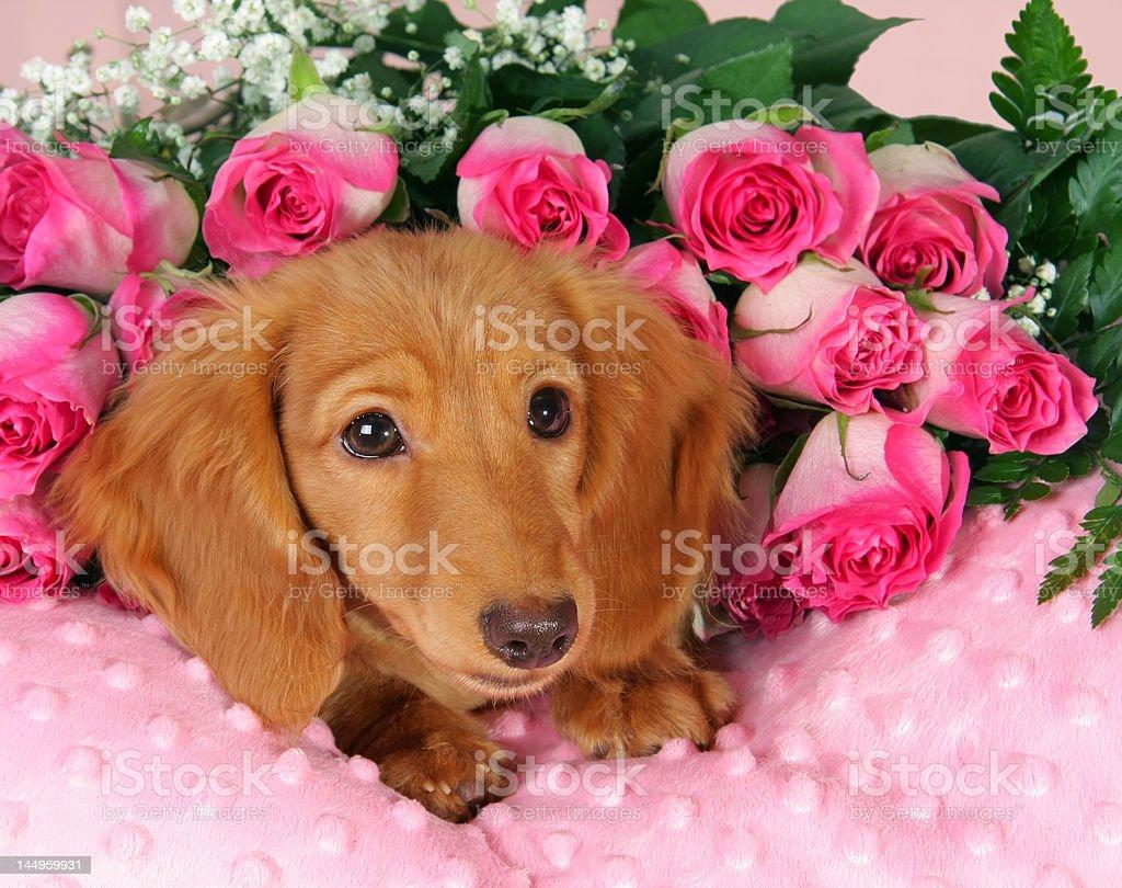 Valentine puppy royalty-free stock photo