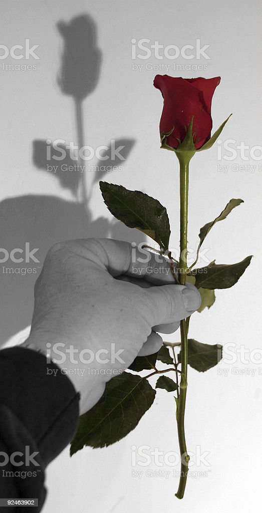Valentine Rose 1 royalty-free stock photo