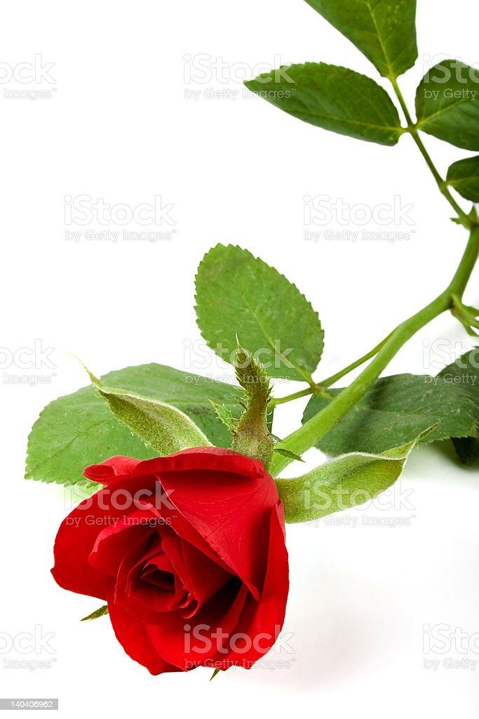 Valentine rose royalty-free stock photo