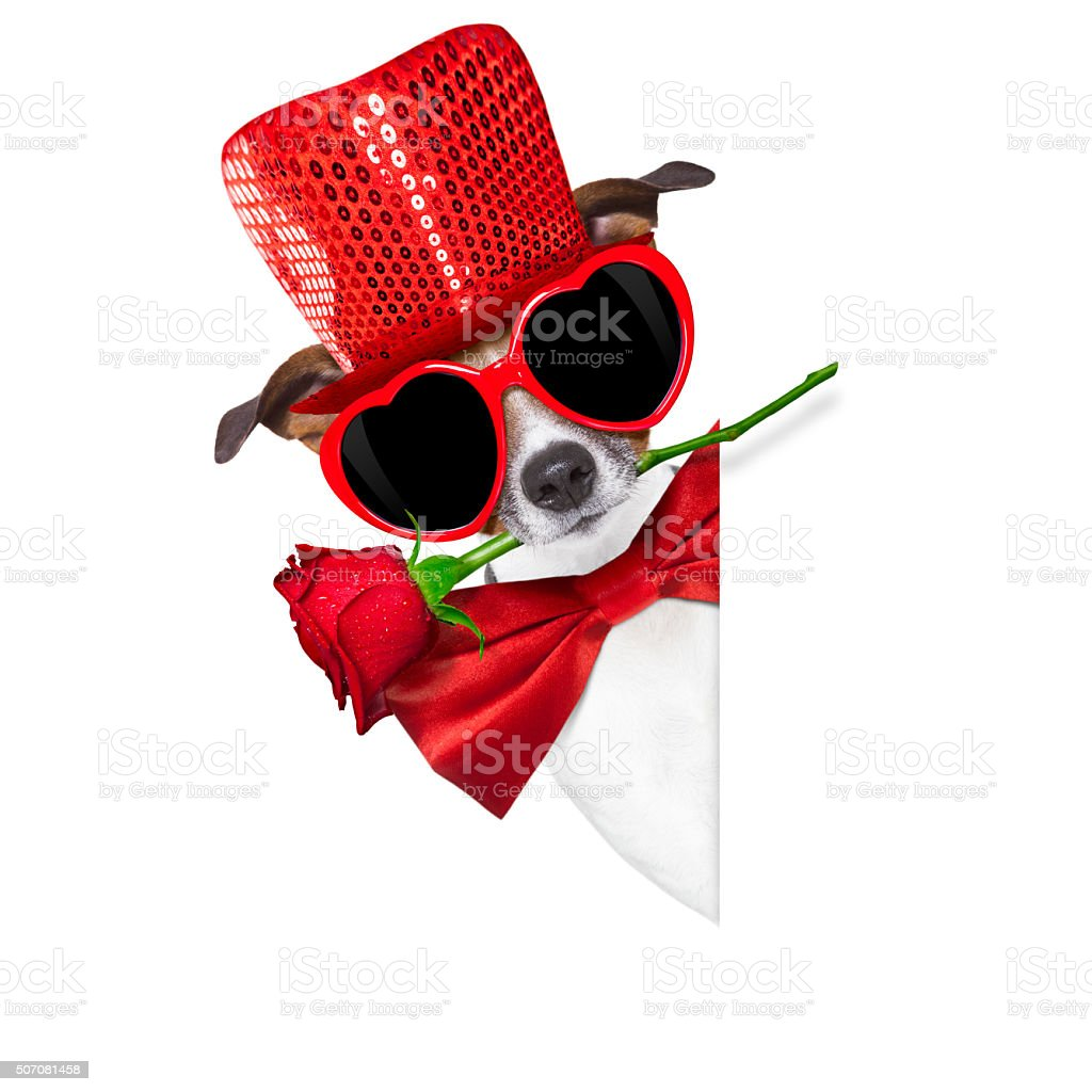 valentines dog in love stock photo