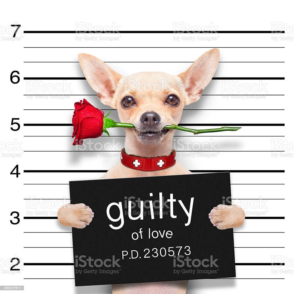 valentines  mugshot dog stock photo