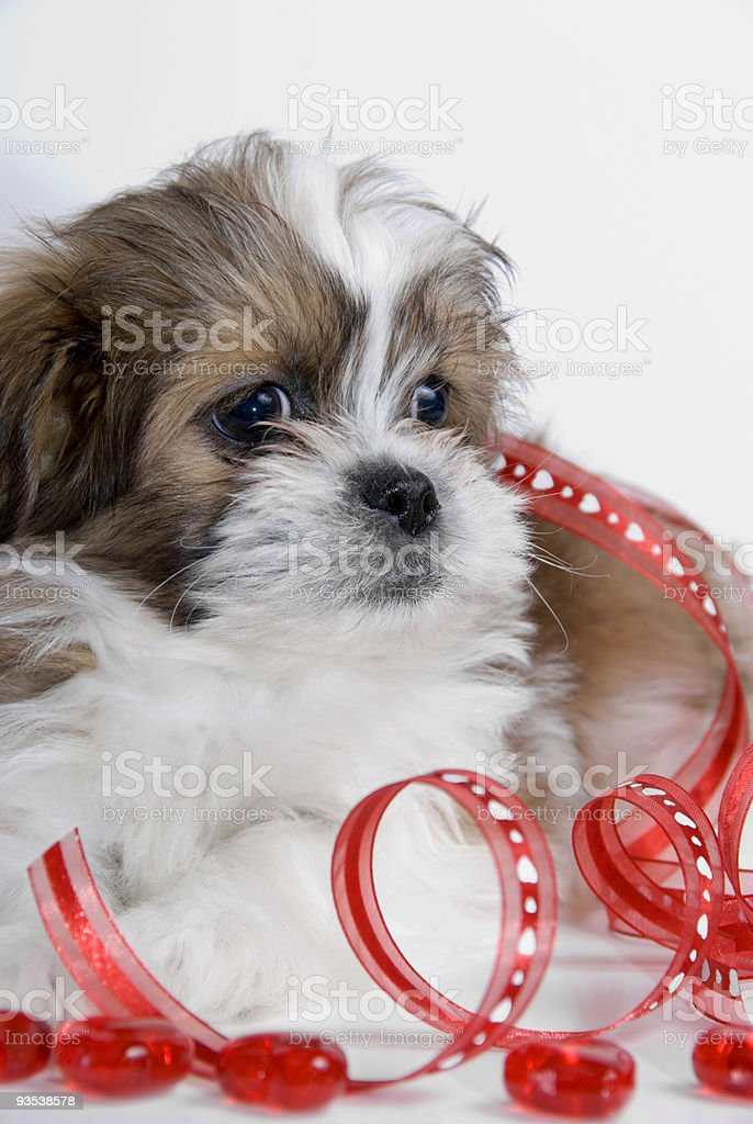 Valentines Puppy Series royalty-free stock photo