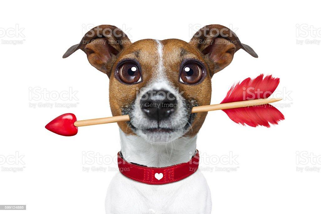 valentines rarrow dog stock photo