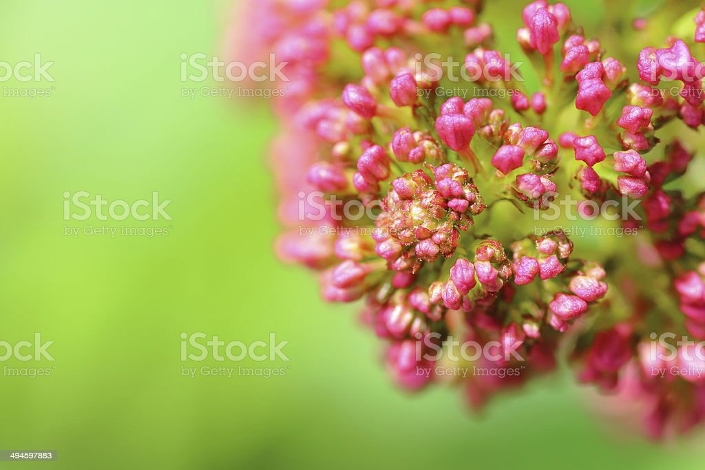 Valerian flower stock photo