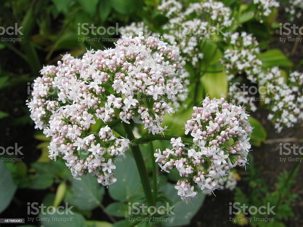 Valerian flowers stock photo