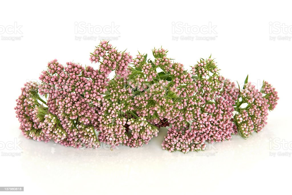 Valerian Herb Flowers stock photo