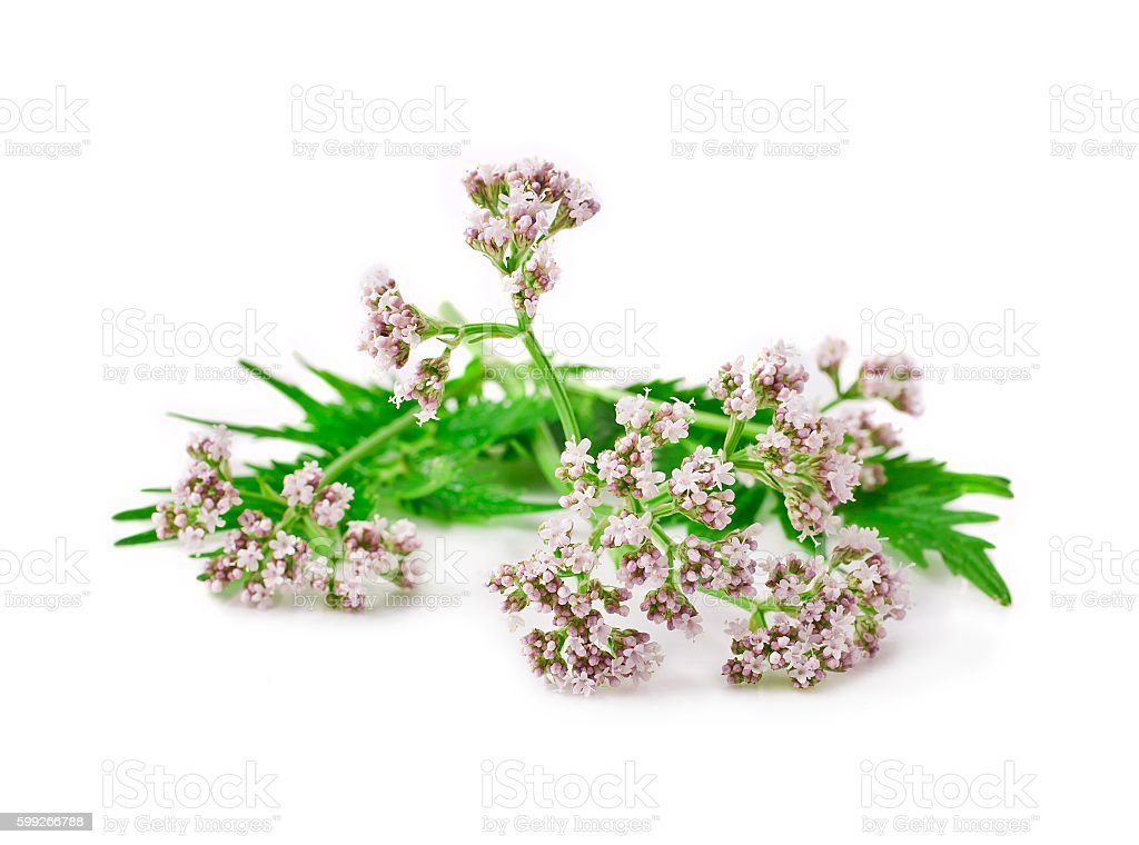 Valerian herb stock photo