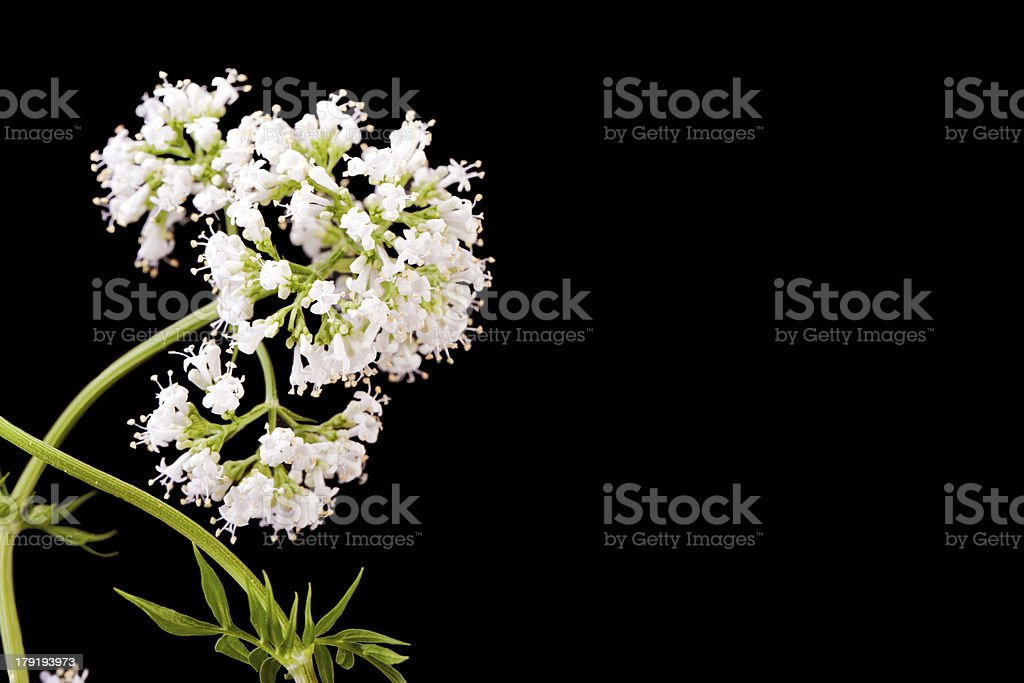 valerian herb plant  blossom stock photo