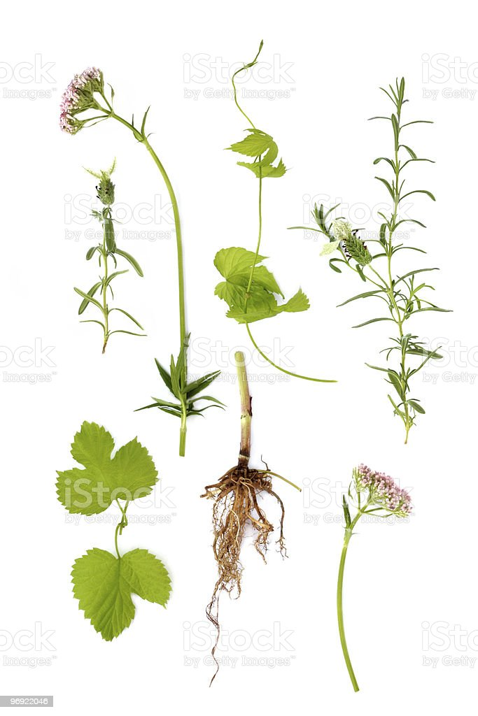 Valerian, Lavender and Hop Herbs stock photo