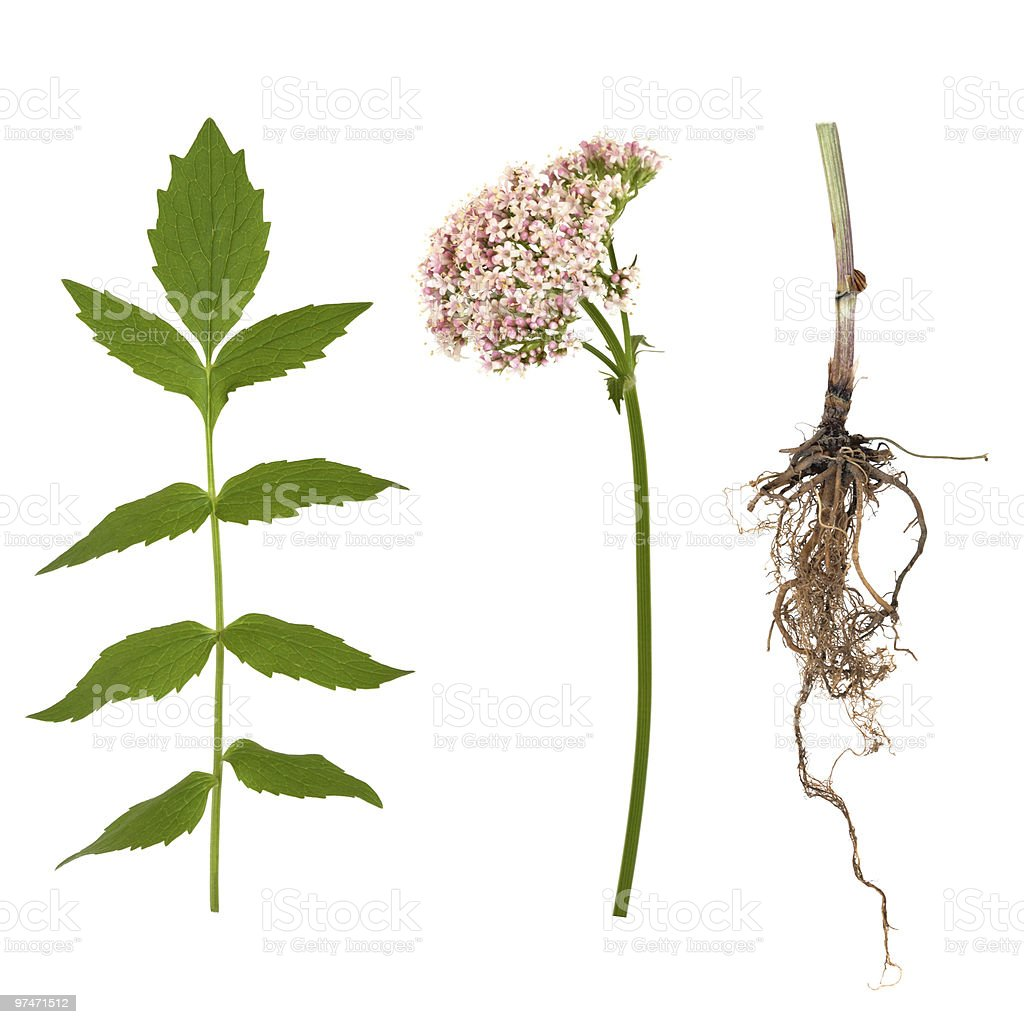 Valerian Leaf, Root and Flower stock photo
