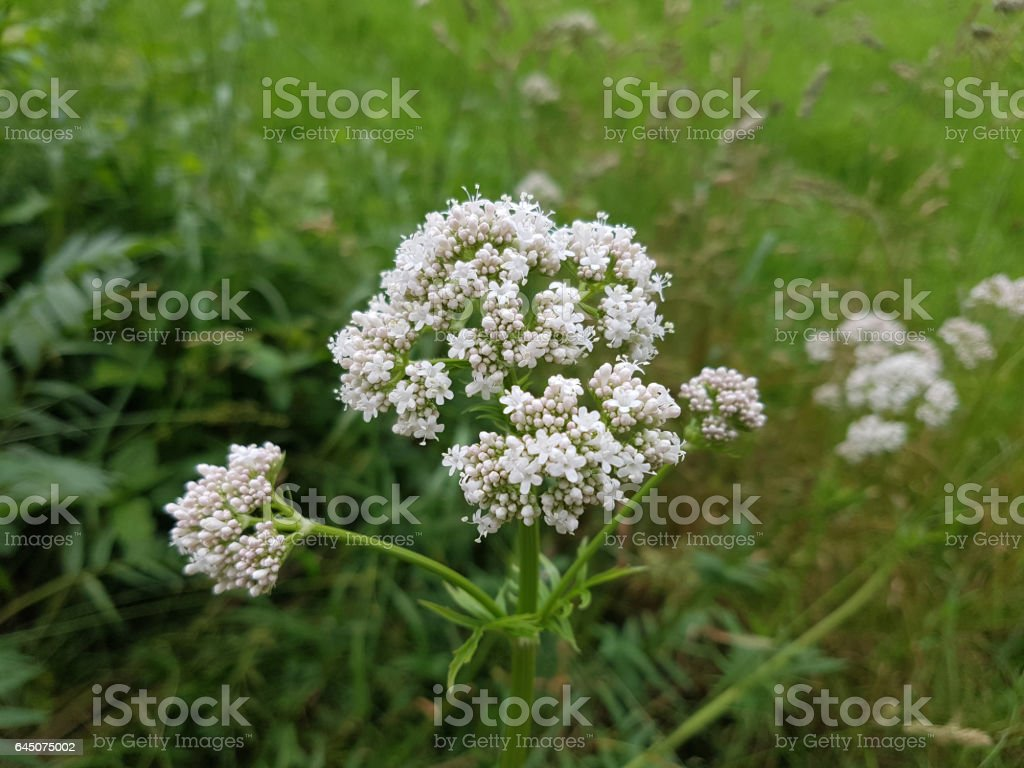 Valerian; officinalis; medicinal plant stock photo