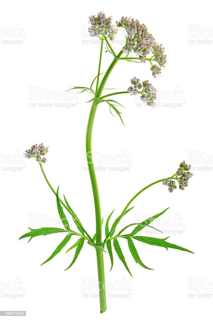 Valerian (Valeriana officinalis) stock photo