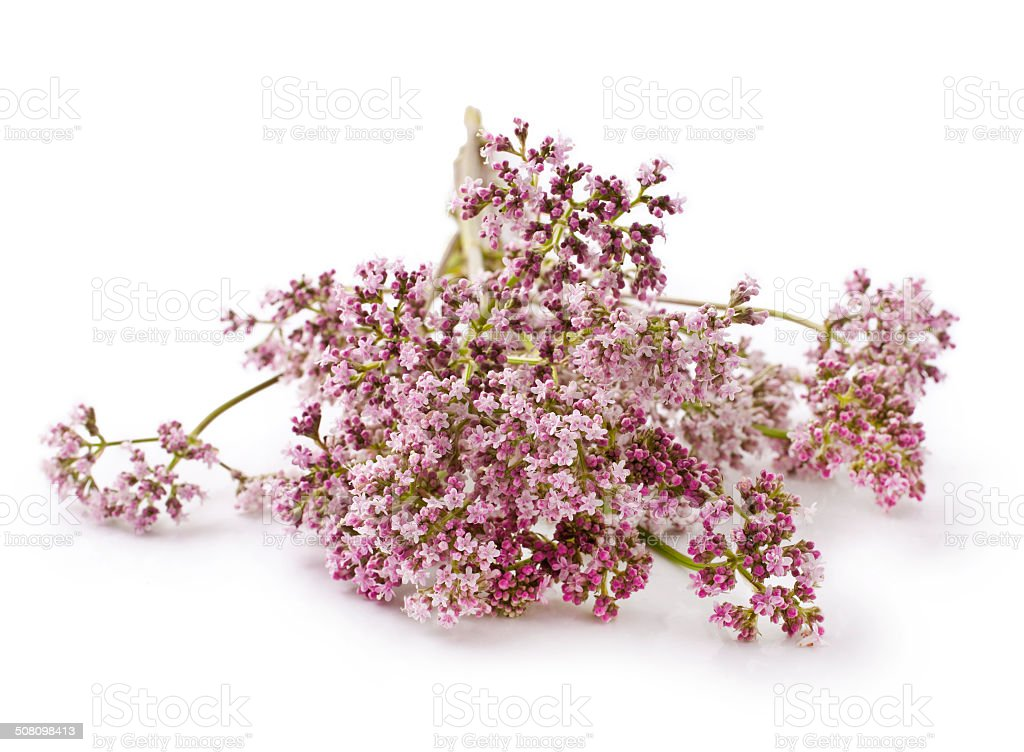 Valerian stock photo