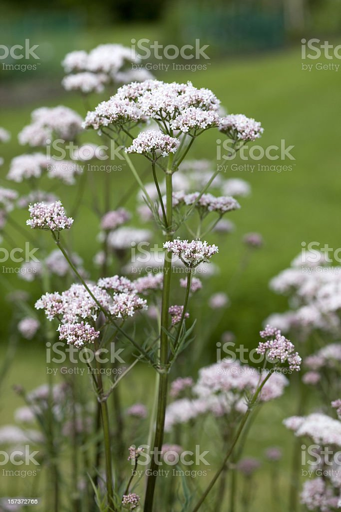 Valerian Root (Valeriana officinalis) stock photo