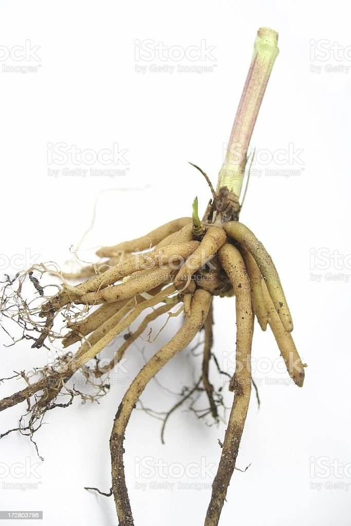 Valerian Root stock photo