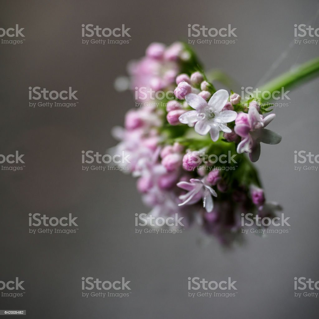 Valeriana montana stock photo