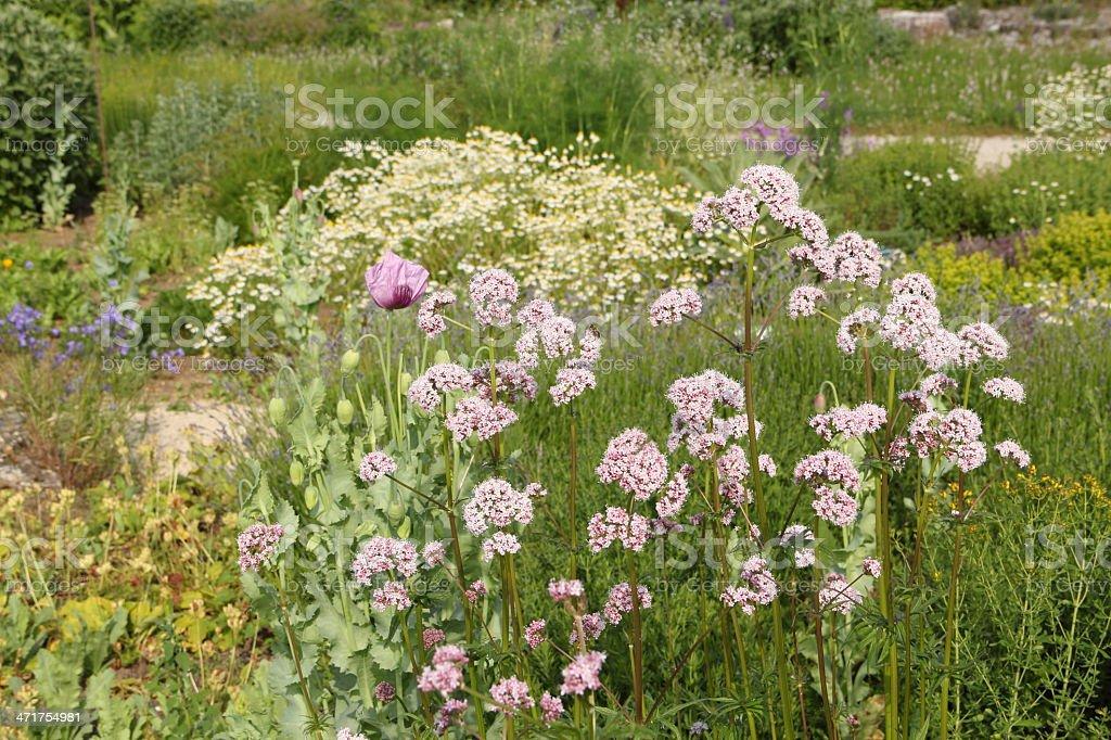 Valeriana officinalis royalty-free stock photo