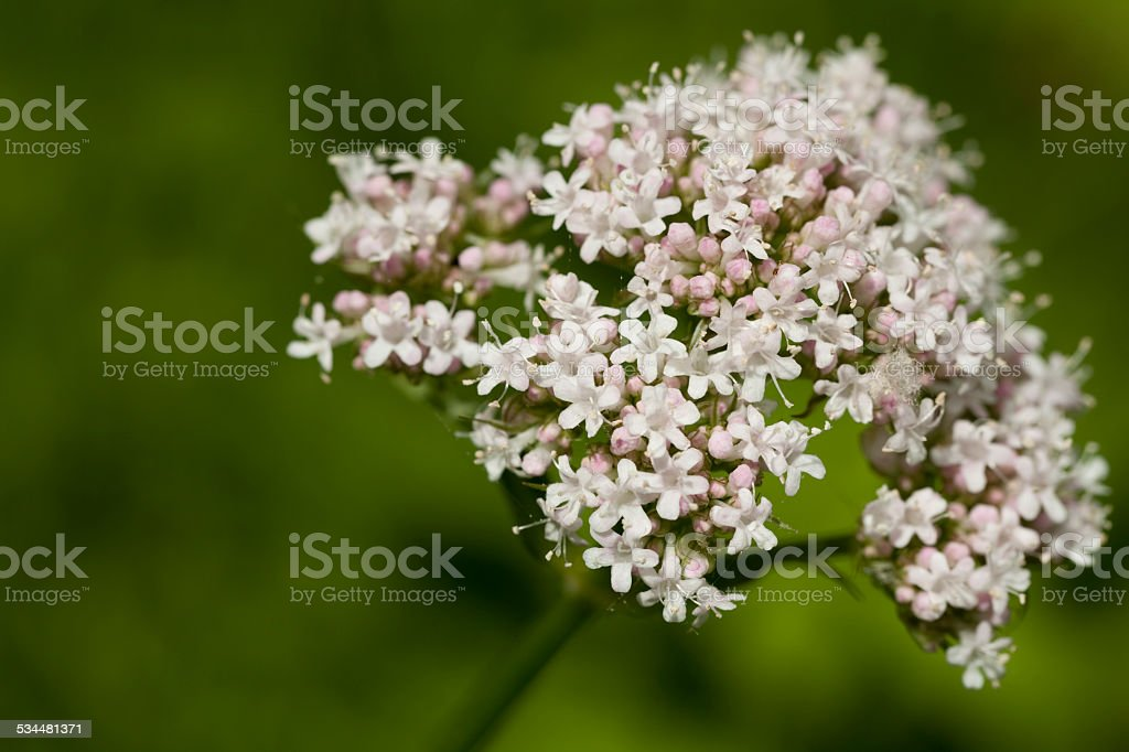 Valeriana officinalis stock photo