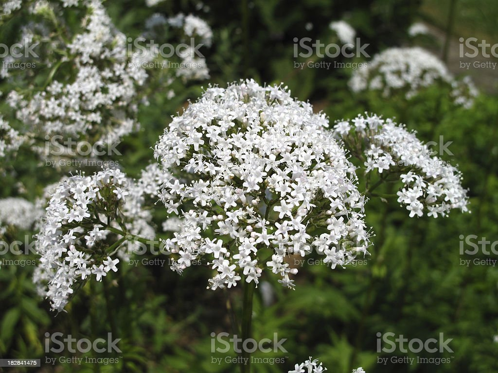 Valeriana officinalis - Echter Baldrian stock photo