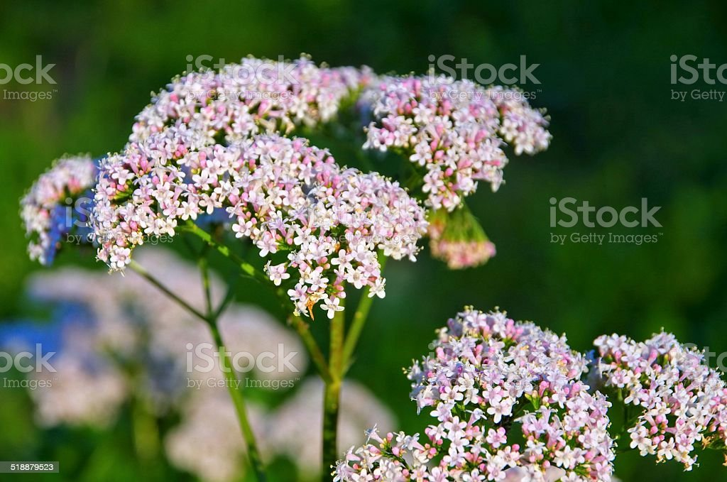 Valeriana stock photo