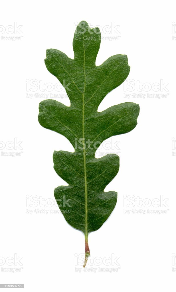 valley oak leaf, Quercus lobata royalty-free stock photo