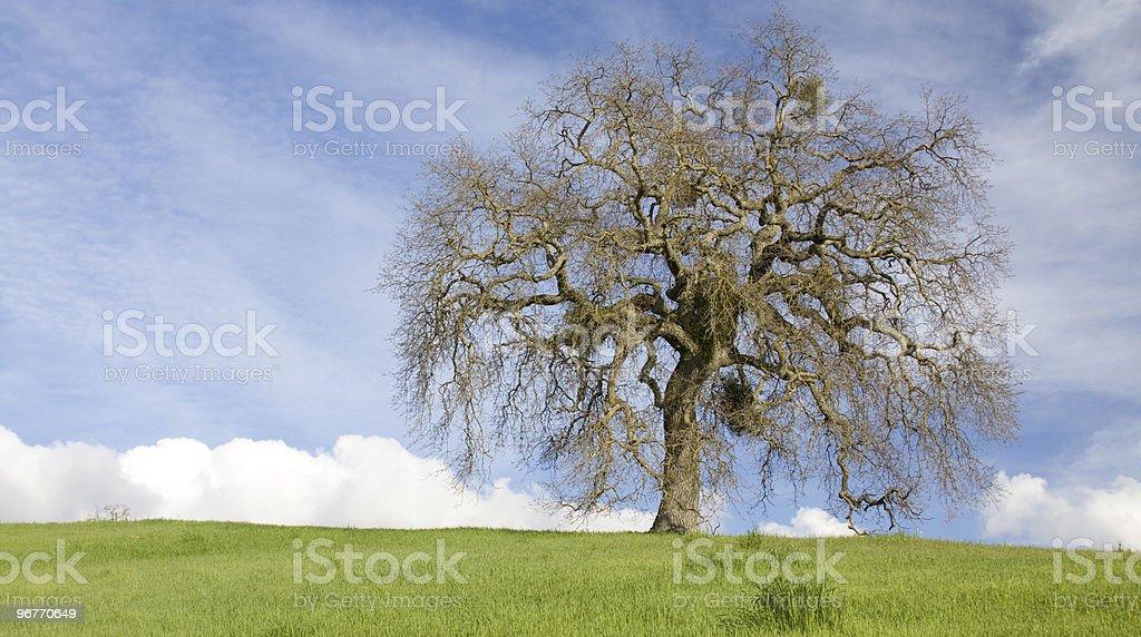 Valley Oak Panorama stock photo