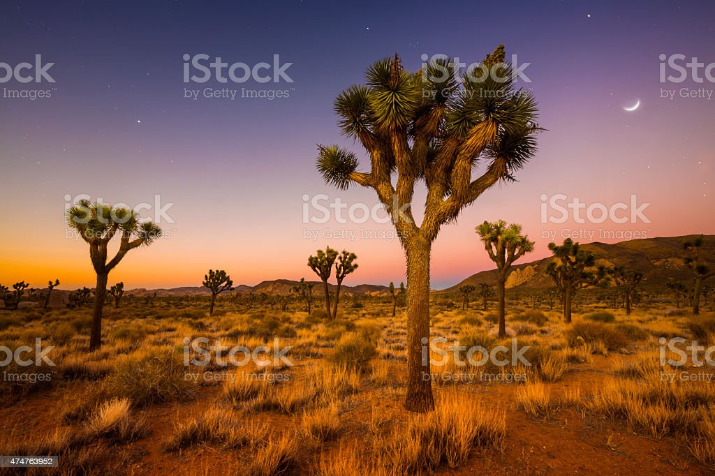Valley of Joshua Trees stock photo