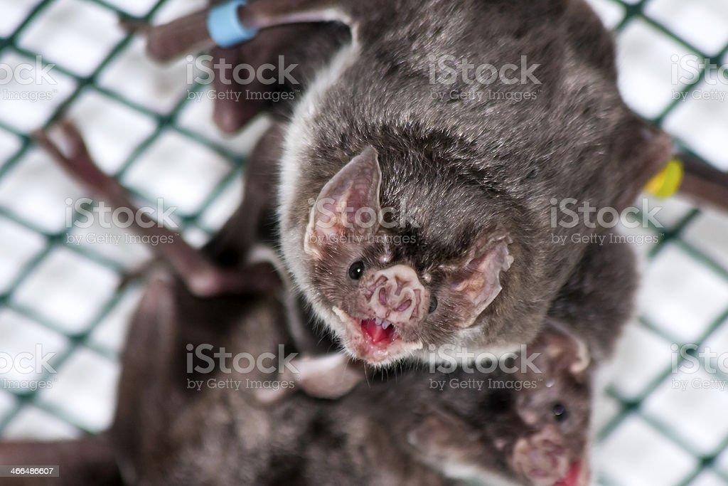 Vampire bat stock photo