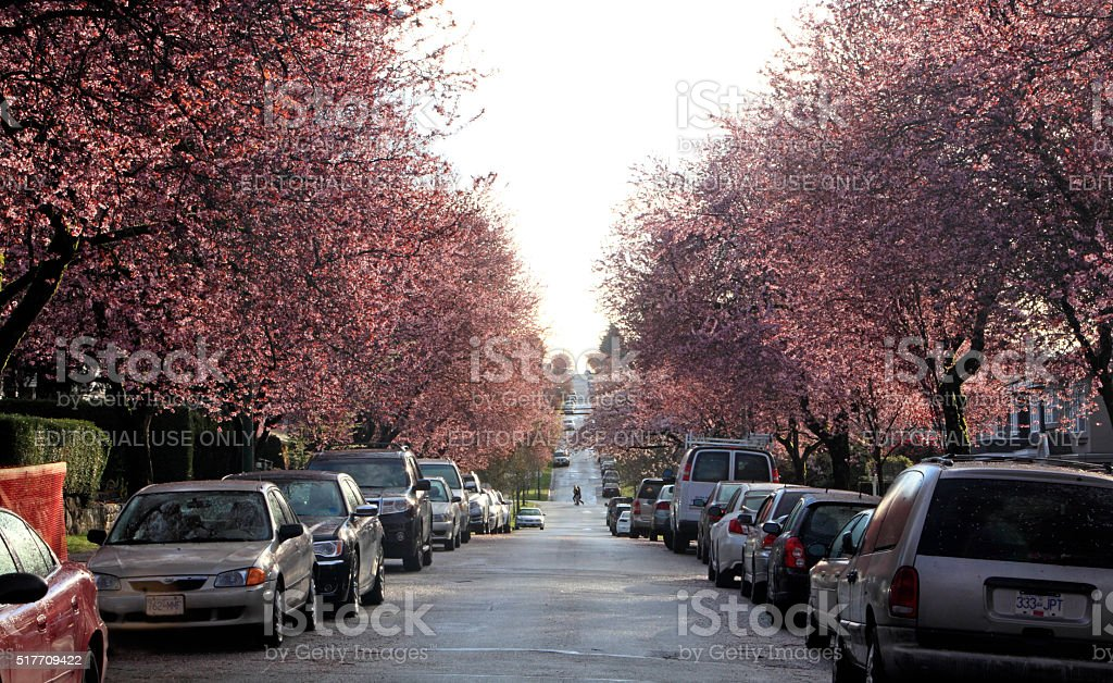 Vancouver Residential Tree Lined Street Of  Japanese Cherry Blossoms stock photo