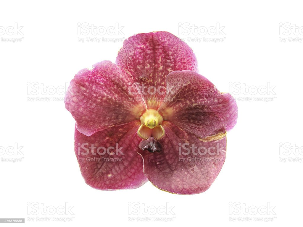 Vanda orchid flowers isolated royalty-free stock photo