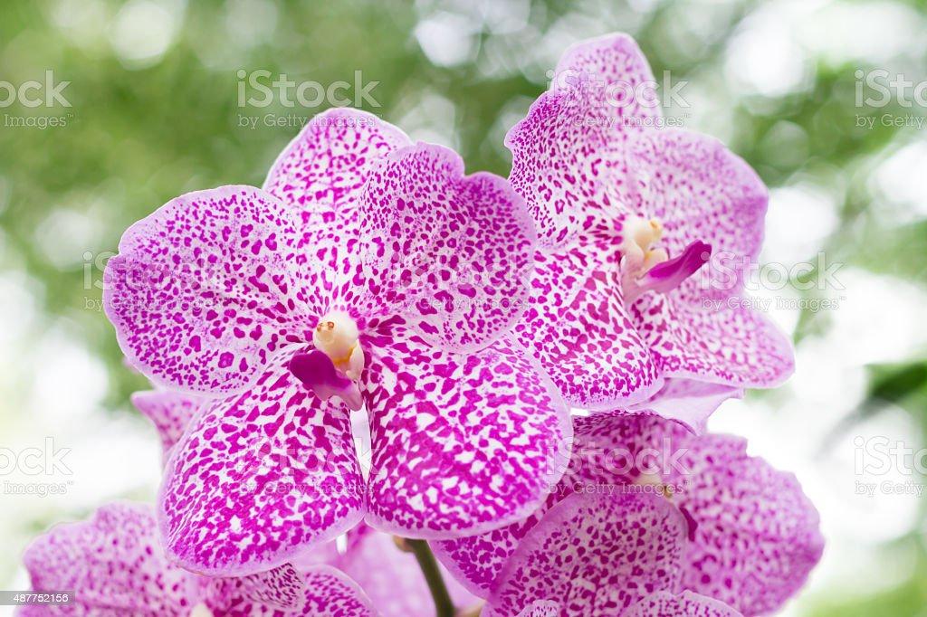 Vanda orchid on blur background stock photo