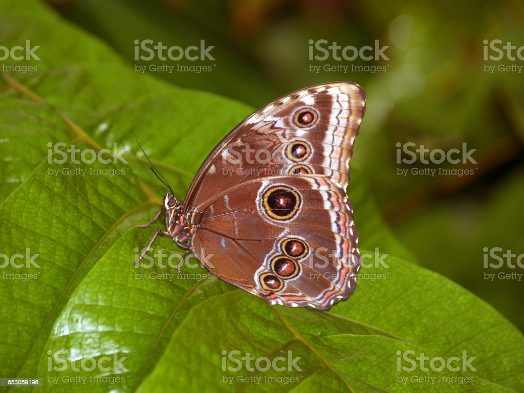 Vanessa butterfly - Morpho peleides stock photo