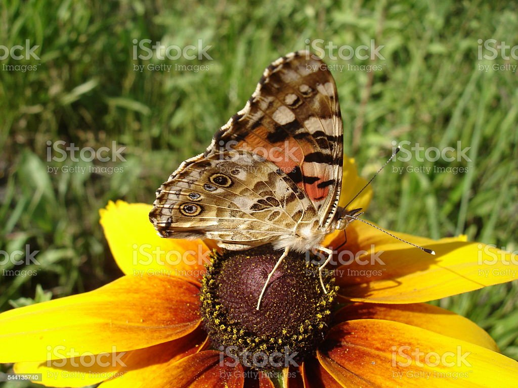 Vanessa cardui (painted lady) butterfly on a rudbeckia flower stock photo