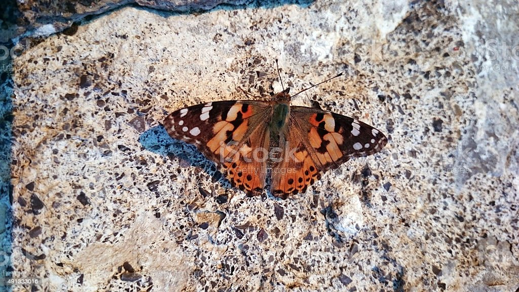 Vanessa cardui Butterfly on the wall stock photo