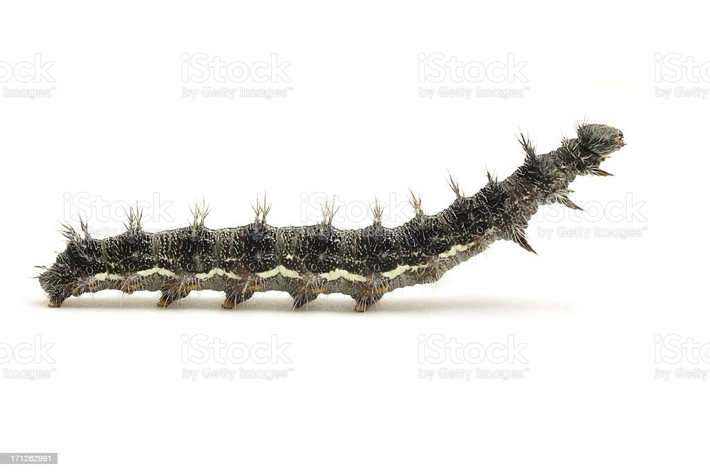 Vanessa cardui caterpillar side view stock photo