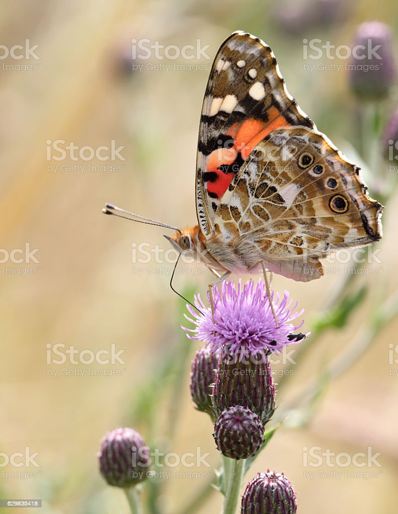 Vanessa cardui the painted lady or cosmopolitan stock photo