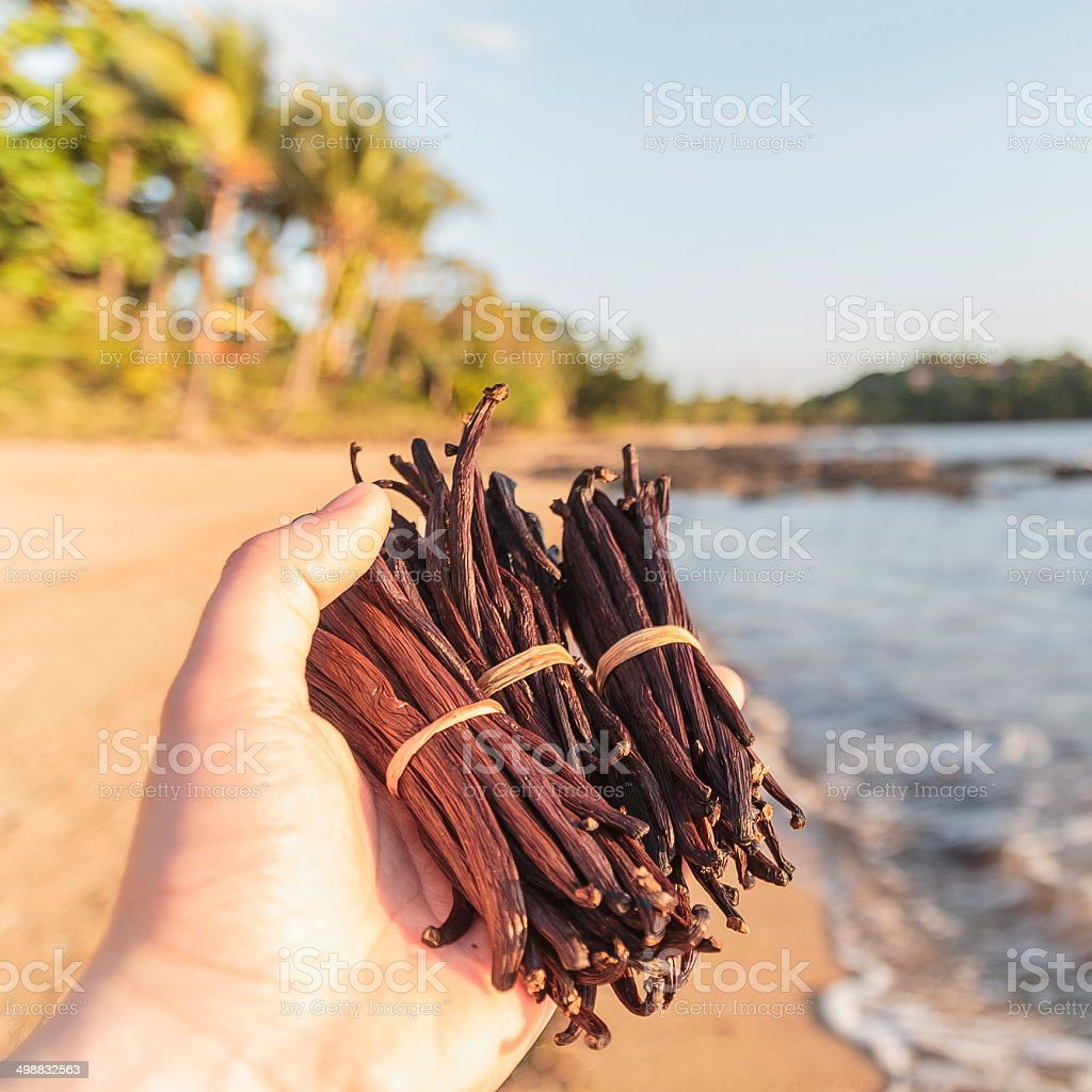 Vanilla beans in my hands at the beach stock photo