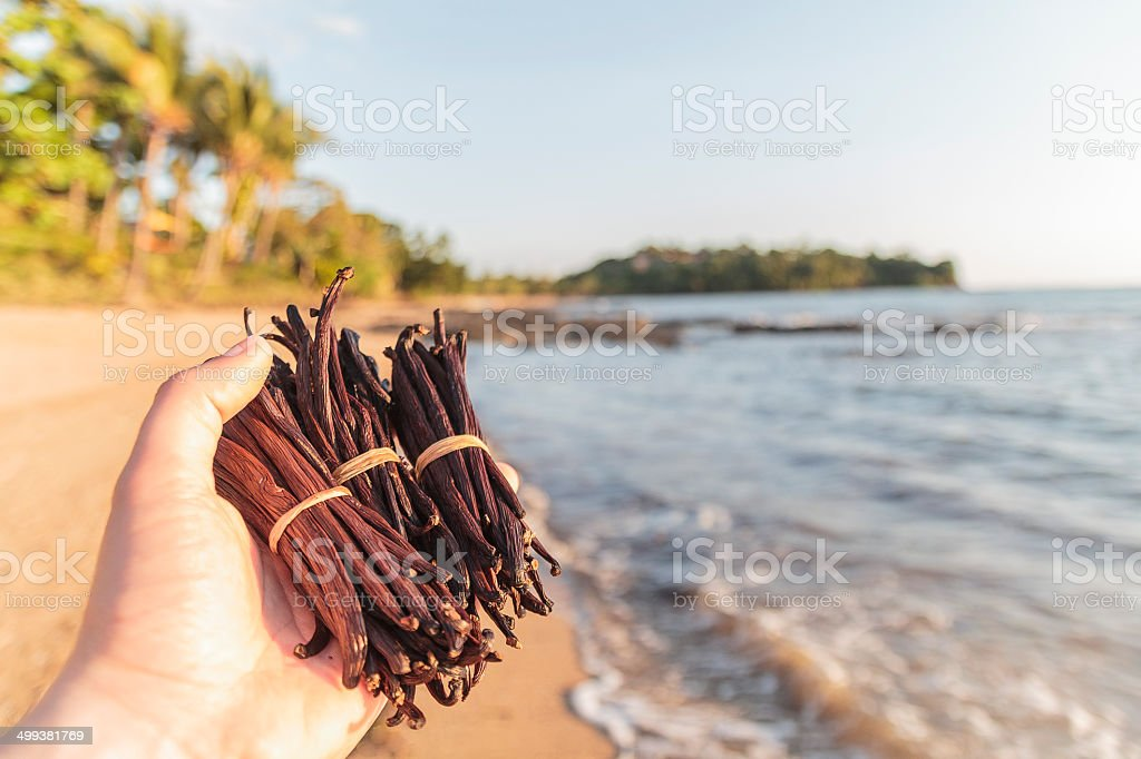 Vanilla beans in my hands at the beach. stock photo