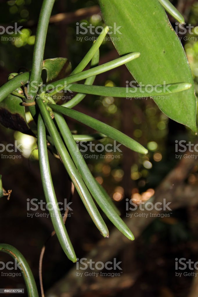 Vanilla beans on tree stock photo