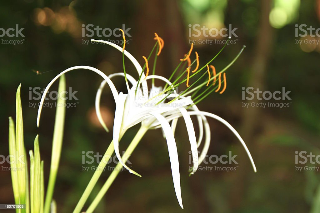 vanilla flowers stock photo