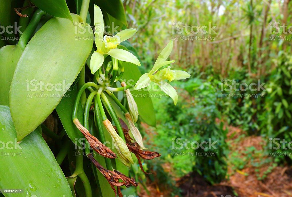 Vanilla flowers plantation. stock photo